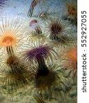 Beautiful Sea Anemone On Ocean...