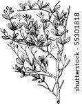 plant nitraria | Shutterstock .eps vector #55301818