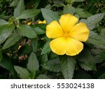 close up of yellow flower and... | Shutterstock . vector #553024138