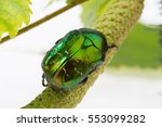 Rose Chafer Crawling On A...
