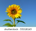 Sunflower Background Against...