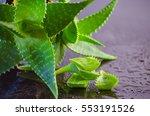 Medicinal Plant Aloe Vera...