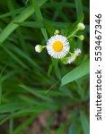 dandelion flower close up in... | Shutterstock . vector #553467346