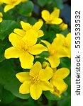 marsh marigold  caltha... | Shutterstock . vector #553533532