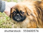A Cute Pekingese Dog And A Man...