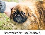 A Cute Pekingese Dog And A Man...
