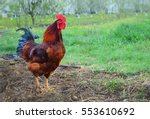 cock. rooster. macro  close up | Shutterstock . vector #553610692