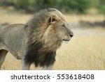 big male lion  | Shutterstock . vector #553618408