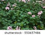 Pink Geranium Flower Blooming...