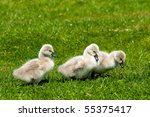 Three Young Swans In The Green...