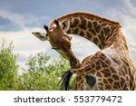 Giraffe Grooming Itself  ...
