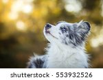 Stock photo adorable cute blue merle border collie puppy laying and watching the sky 553932526