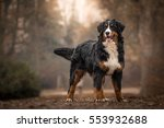 Stock photo adorable cute female of bernese mountain dog standing in the park 553932688