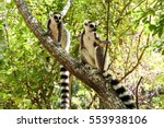 ring tailed lemurs in isalo... | Shutterstock . vector #553938106