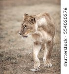 Lioness Female  Panthera Leo ...
