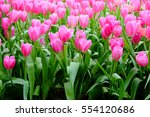 pink tulip blooming in the... | Shutterstock . vector #554120686