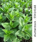 growing mint on the ground... | Shutterstock . vector #55414168