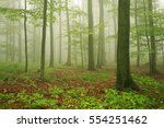 Forest Of Beech Trees In Fog...