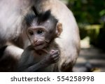 indonesia apes monkey baby in... | Shutterstock . vector #554258998