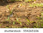 Young Spotted Sandpiper Walkin...