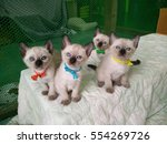Stock photo siamese cat kitten gang 554269726
