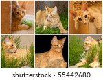 collage of orange cat photos. | Shutterstock . vector #55442680