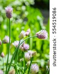 Small photo of blooming chives flowers closeup, Allium schoenoprasum