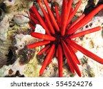 Bright Red Pencil Urchin In...