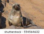 Brown Fur Seal  Arctocephalus...