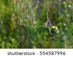 Male Wasp Spider  Argiope...