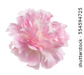pink peony flower rozovidnoy... | Shutterstock . vector #554594725
