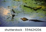 A Baby Alligator Swims In A...