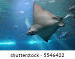 spotted eagle ray and giant...   Shutterstock . vector #5546422