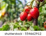 bunch of ripe natural cherry... | Shutterstock . vector #554662912