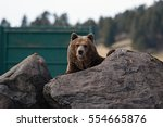 grizzly bear | Shutterstock . vector #554665876