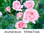 Stock photo natural background roses 554667166