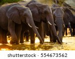 elephants in chobe national... | Shutterstock . vector #554673562