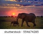 elephants in chobe national... | Shutterstock . vector #554674285