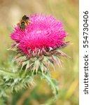 Milk Thistle Wild Flower   Bee...