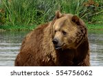 grizzly bear cooling off in the ... | Shutterstock . vector #554756062