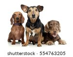 Stock photo studio shot of two adorable dachshund and a mixed breed dog sitting on white background 554763205