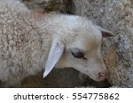 Sad White Young Sheep  Lamb ...