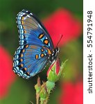 Stock photo a beautiful red spotted purple butterfly limenitis arthemis in a rose garden 554791948