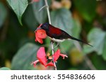 Small photo of Beautiful bird, Male of Black-throated Sunbird (Aethopyga saturata), Thailand