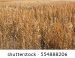 A Marsh Reed Field In Swamps I...