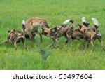 African wild dogs attacking hyena defending prey, Botswana - stock photo