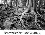 exposed roots of pine tree... | Shutterstock . vector #554983822