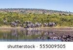 african bush elephant in kruger ... | Shutterstock . vector #555009505