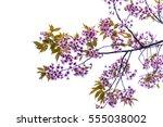 sakura  or cherry blossom... | Shutterstock . vector #555038002