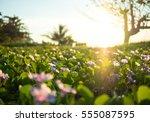 wild meadow flowers on morning... | Shutterstock . vector #555087595